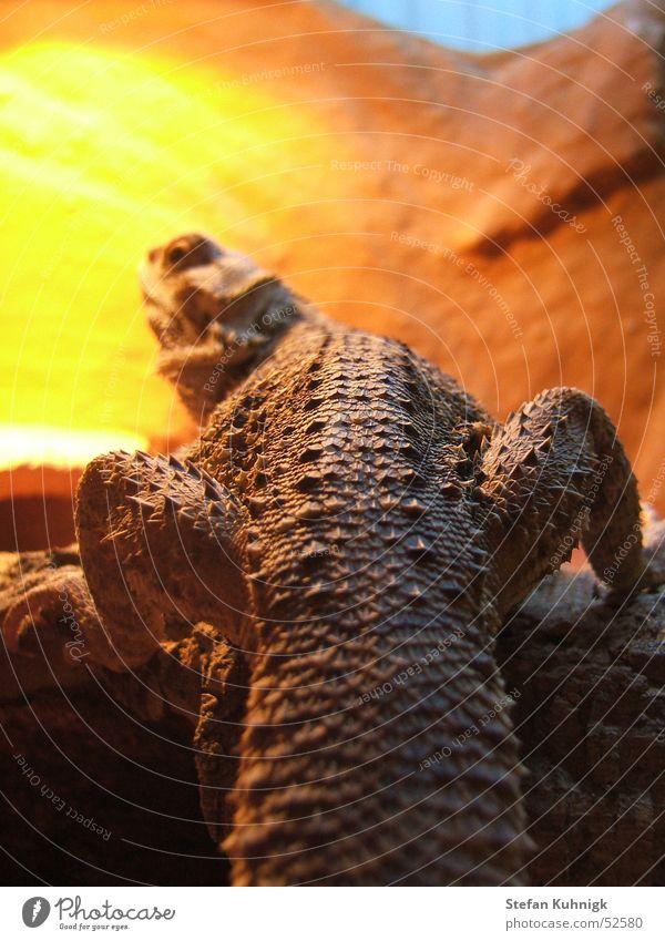backspine blau Baum ruhig Tier gelb Beine orange braun Klettern Ast Scheune Australien Reptil Echsen Noppe Bart-Agame