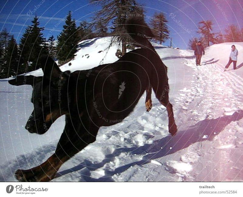 Schneewolf Freude Winter schwarz Wald springen Bewegung Hund Luft fliegen Ohr Spaziergang Dezember Wolf Februar Januar