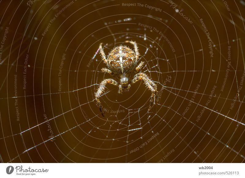 Ich warte... Natur Sommer Tier Nutztier Spinne 1 Kreuz Jagd Aggression bedrohlich authentisch Ekel gruselig listig nah Neugier niedlich schön braun gelb weiß