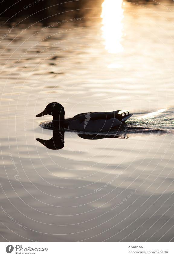Spiegelentlein Natur Tier Wasser Sonne Klima Wetter Teich See Vogel 1 Schwimmen & Baden nass natürlich wild weich gold schwarz Ente Bodensee Spiegelbild Feder