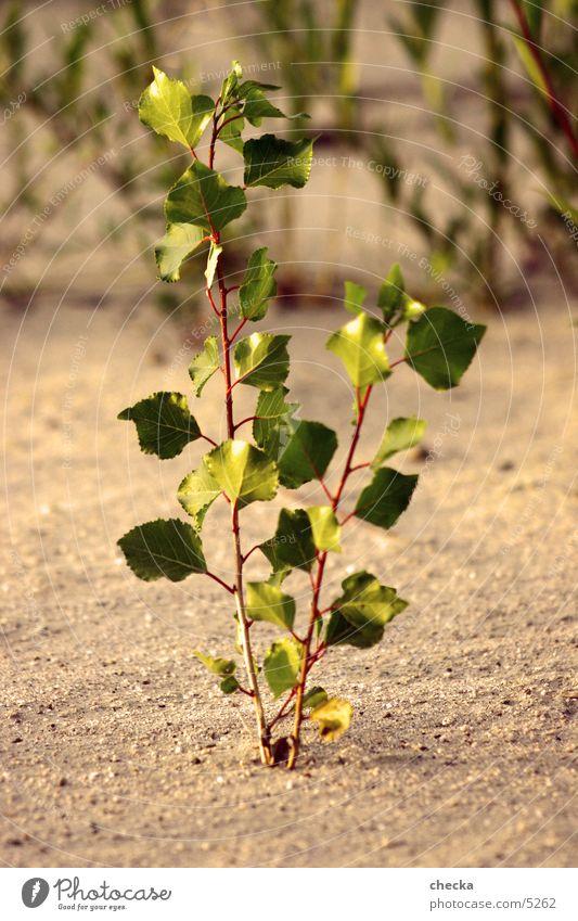 pflänzle Pflanze Blatt Wachstum Natur Sand