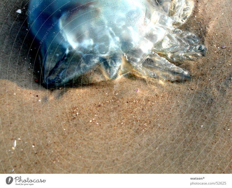 qualle Meer Strand Tier Tod Sand Lebewesen Korn Glätte Qualle