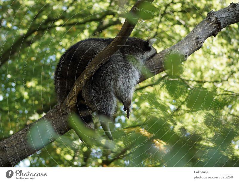 Einfach mal abhängen! Umwelt Natur Tier Sommer Pflanze Baum Blatt Wildtier Fell hell natürlich wild weich Waschbär faulenzen bequem Farbfoto mehrfarbig