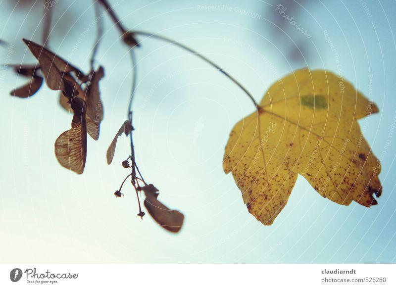 Ahorn Umwelt Natur Pflanze Himmel Herbst Schönes Wetter Baum Blatt Ahornsamen Herbstlaub schön gelb Unschärfe Zweige u. Äste Samen Ahornblatt Ahornzweig