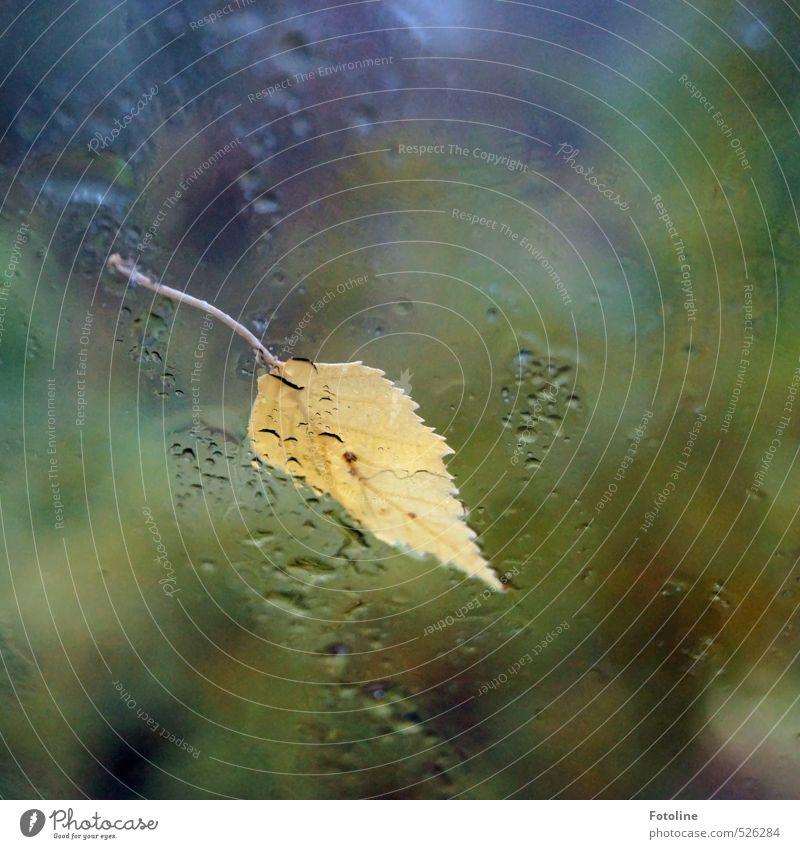 Novemberwetter Umwelt Natur Pflanze Urelemente Wasser Wassertropfen Herbst Wetter schlechtes Wetter Regen Blatt hell nah nass natürlich gelb Birkenblätter
