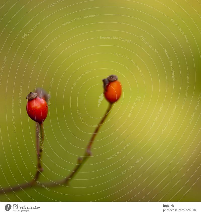 Hagebutten Natur Pflanze grün Erholung rot Herbst natürlich Gesundheit braun Stimmung Frucht orange Wachstum rund Wohlgefühl harmonisch