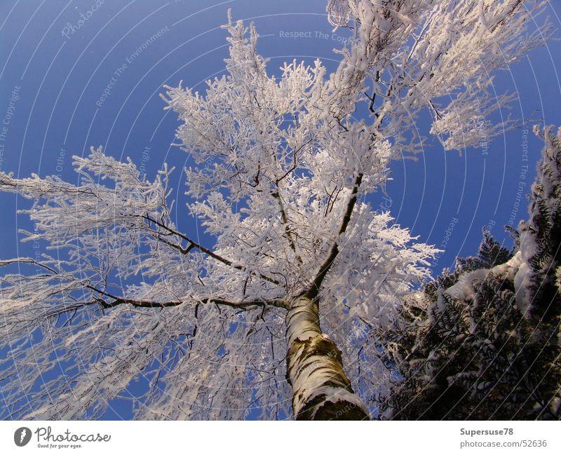 Winter Himmel weiß Baum blau Schnee Eis Birke