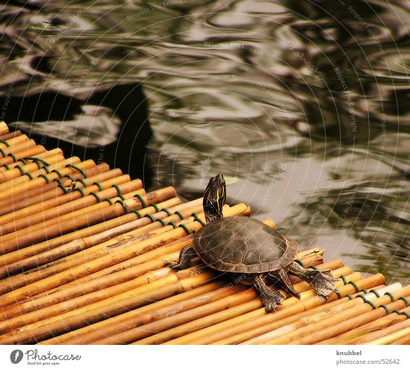 Fernweh Schildkröte Reptil Insel Mainau Wasser Bambusrohr gepanzert Hals Kröte