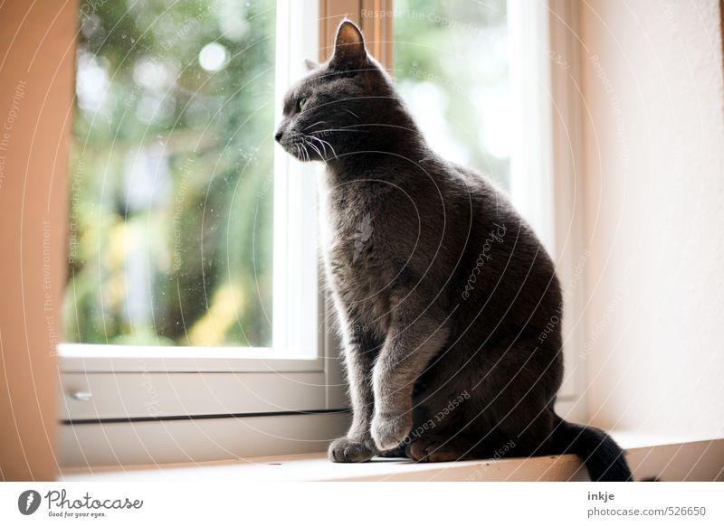 ein neuer Tag beginnt Lifestyle Häusliches Leben Wohnung Raum Fensterbrett Fensterscheibe Tier Haustier Katze Hauskatze 1 beobachten hocken Blick sitzen warten