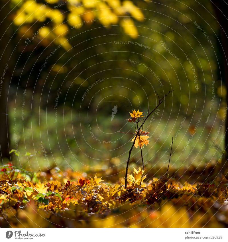 Herbstgold Natur Pflanze Sonnenlicht Schönes Wetter Baum Sträucher Blatt Grünpflanze Garten Park Wald gelb Zweig Zweige u. Äste Herbstlaub herbstlich Herbstwald