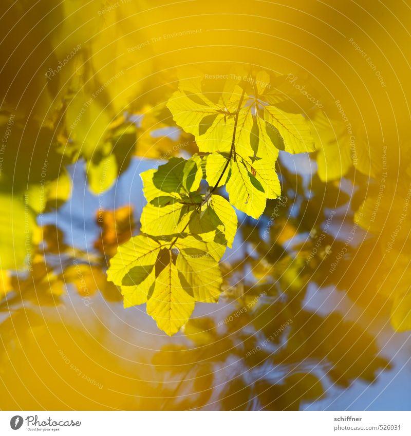 Im Herbst, damals Natur blau grün Pflanze Sonne Baum Blatt gelb Umwelt gold leuchten Schönes Wetter Zweig Herbstlaub Herbstfärbung