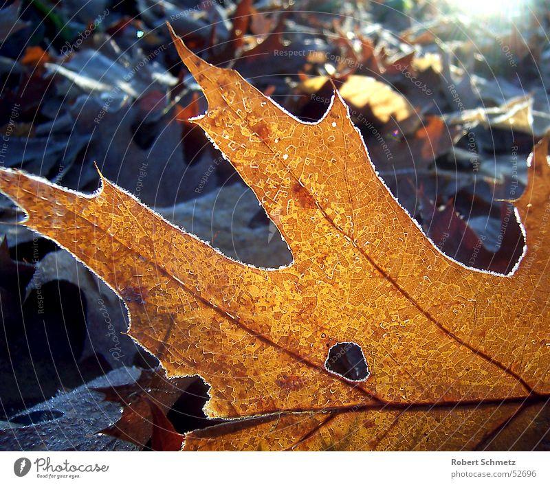 Das Blatt im Licht Eichenblatt Waldboden Herbst Trauer Tod