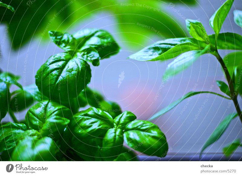 Basilikum grün Ernährung Gesundheit Kochen & Garen & Backen Küche Kräuter & Gewürze Gemüse Basilikum
