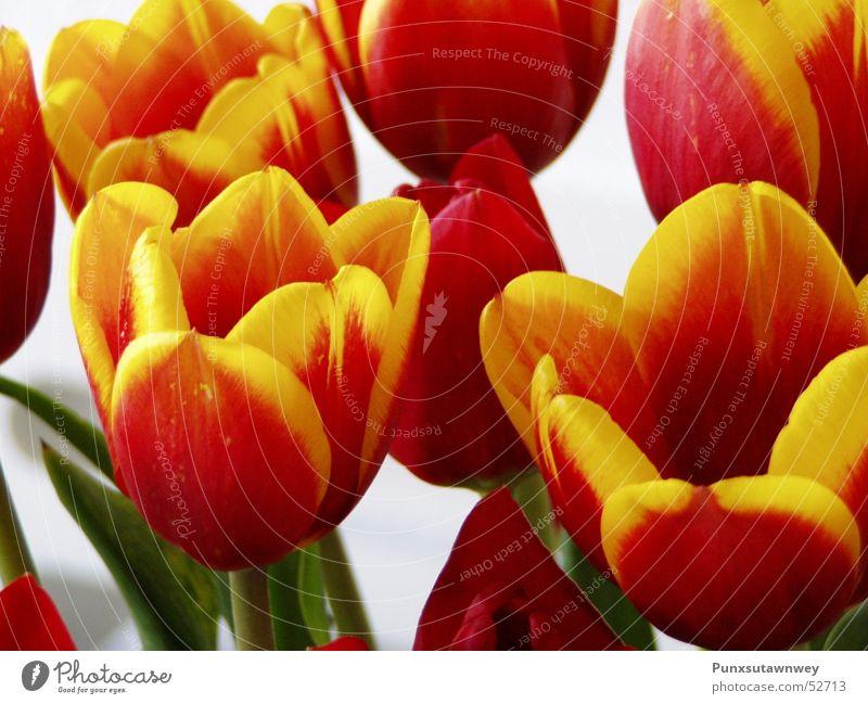 Tulpen rot-gelb Blume Pflanze
