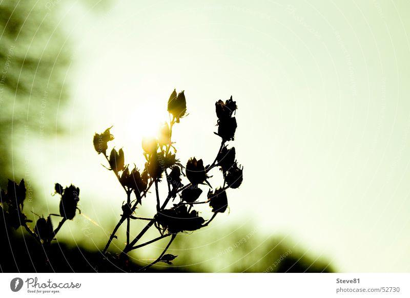 Wintersonne küsst Pflanze Natur Sonne Landschaft Sträucher