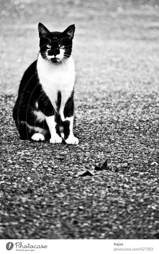 Katze schön Haare & Frisuren Natur Tier Fell Haustier hässlich kuschlig lustig nah Originalität schwarz weiß Wachsamkeit süß Pussy Kopf Lebewesen schwarz-weiß