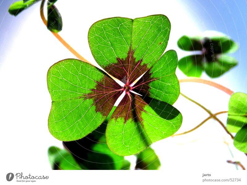 Glücksklee Kleeblatt grün Blume Volksglaube Hoffnung Religion & Glaube Sehnsucht vierblättrig Freude sein Pflanze Leben jarts