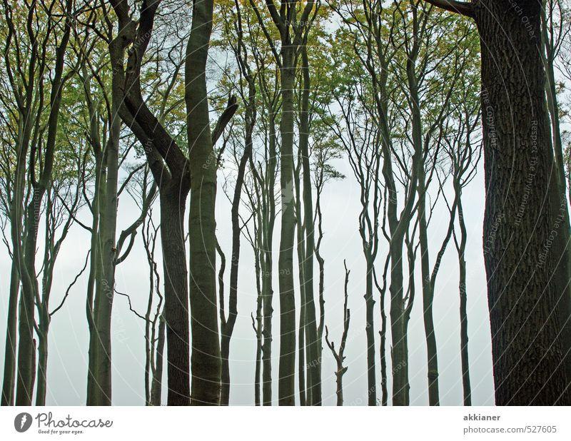 """Gespensterwald Nienhagen Umwelt Natur Landschaft Pflanze Herbst Baum Strand Ostsee """"Baum Bäume Stamm Stämme Baumstamm Baumstämme Buche Buchen Buchenwald"""