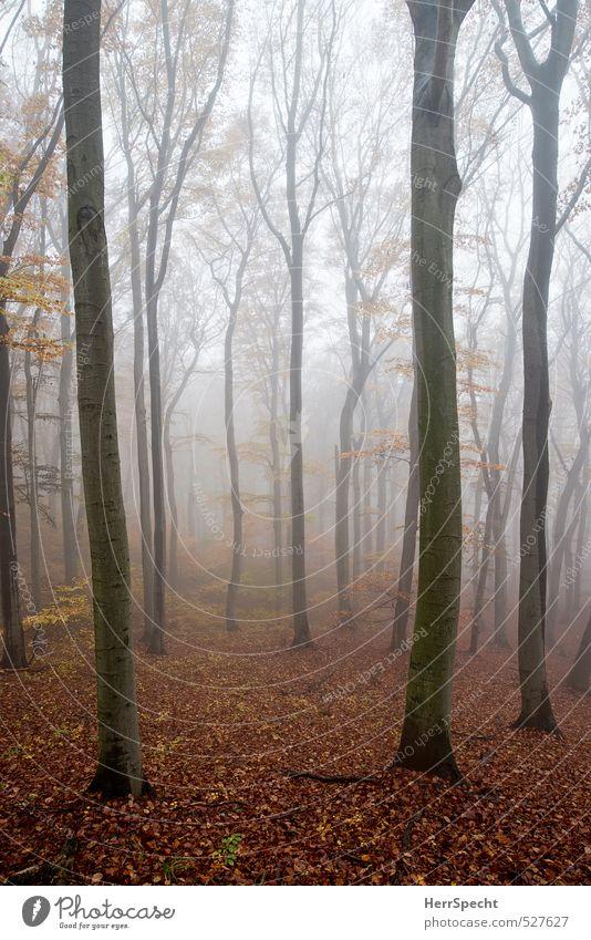 Nebelwald II Natur Pflanze Baum Landschaft Wald Umwelt Traurigkeit Herbst grau natürlich braun Nebel ästhetisch gruselig Baumstamm Herbstlaub