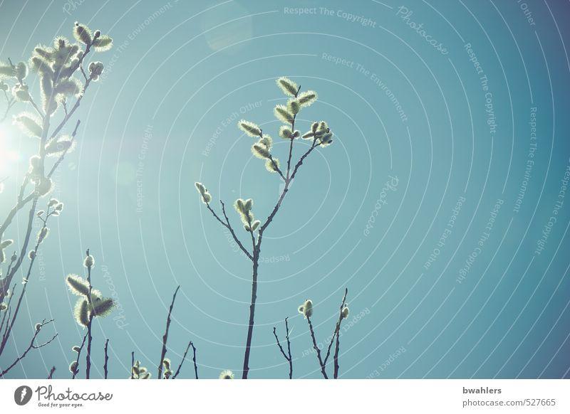 Frühlings-Erwachen Natur Pflanze Himmel Wolkenloser Himmel Sonne Sonnenlicht Schönes Wetter Sträucher Blüte Wildpflanze blau Weide Weidenkätzchen Ast Farbfoto