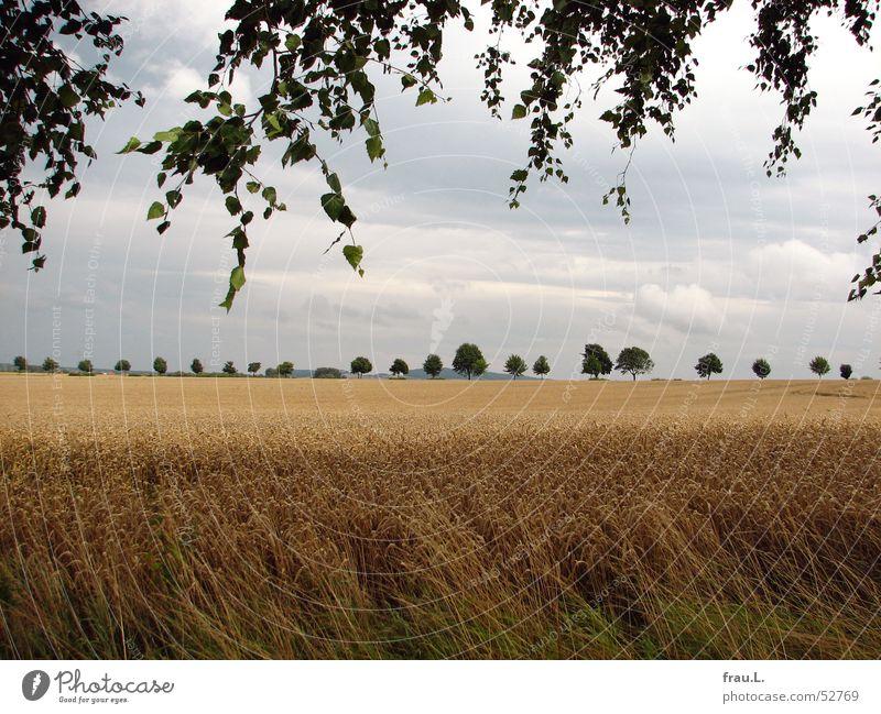Spätsommer Degersen Getreide ruhig Sommer Natur Landschaft Baum Blatt Feld Geborgenheit Birke Allee Weizen Niedersachsen Heimat letzte tage Kornfeld Ernte
