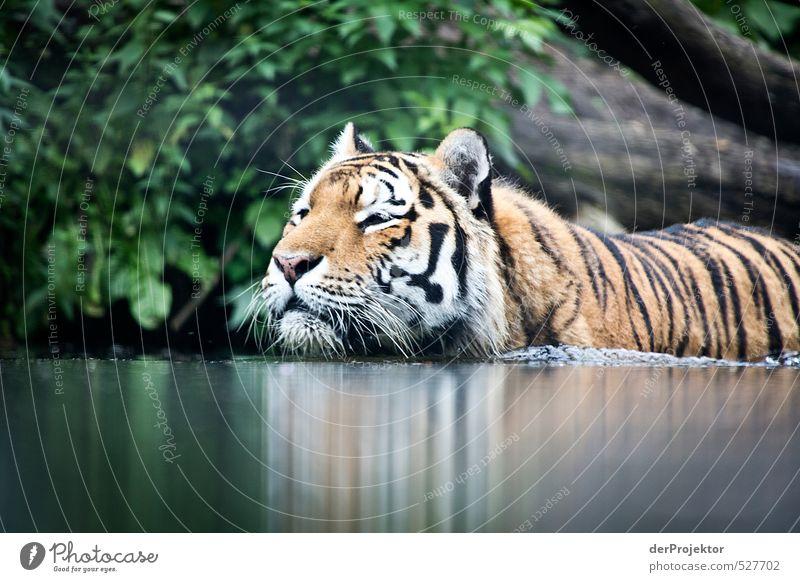 Auf Augenhöhe. Tier Wildtier Fell Zoo 1 Aggression bedrohlich Bekanntheit dunkel Tiger Wildkatze Wasser Schwimmen & Baden Landraubtier Raubkatze Indien