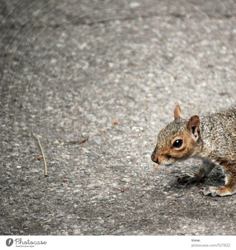 Third World Straße Tier Wildtier Tiergesicht Fell Pfote Eichhörnchen 1 beobachten Blick stehen warten nah Neugier niedlich wild weich braun bedrohlich