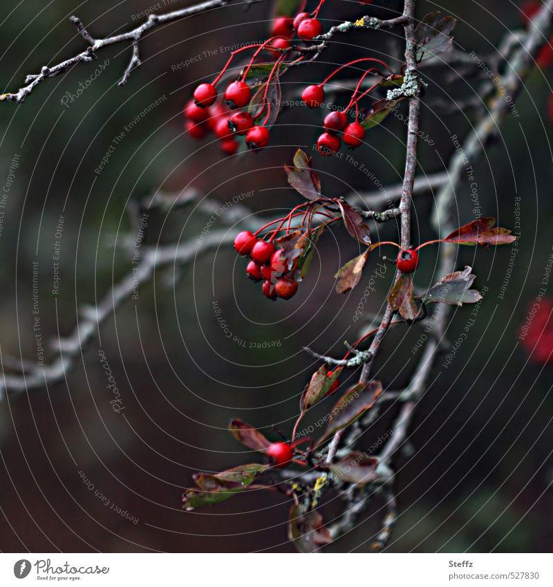 Beerenzweig markant und herbstlich verfallen vergänglich trist dunkel verwelkte Blumen verblüht vergangene Schönheit rotbraun dunkelgrau Zweig Vergänglichkeit