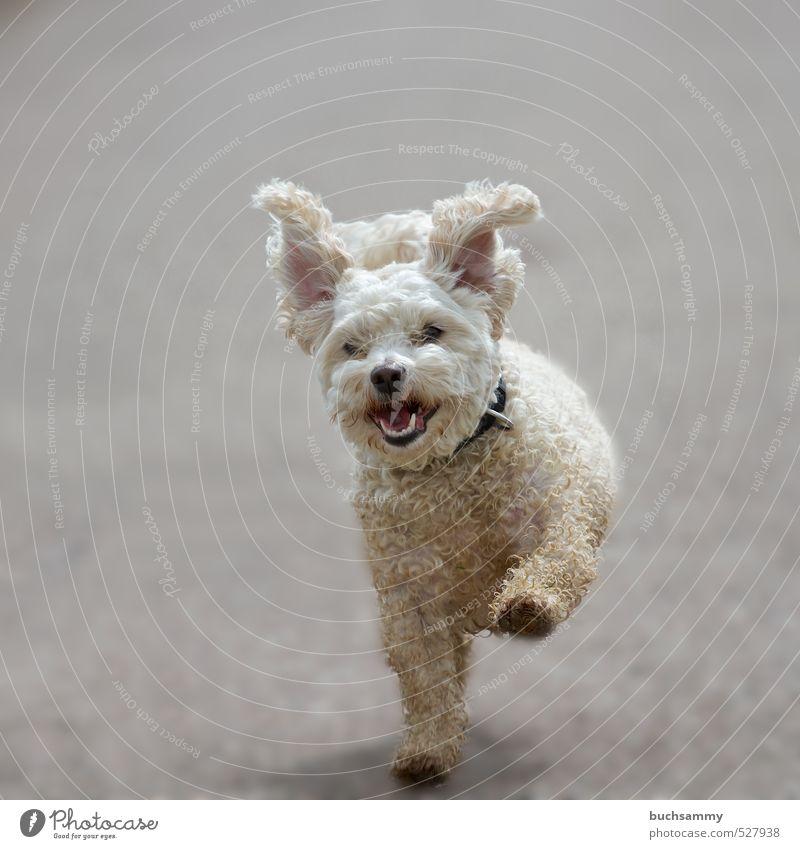 Fliegende Ohren Hund weiß Freude Tier Bewegung lustig grau Glück Freizeit & Hobby dreckig laufen Fröhlichkeit niedlich Coolness rennen Haustier