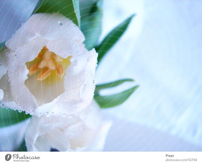 One-Of-Ten Farbfoto Innenaufnahme Nahaufnahme Textfreiraum rechts elegant Muttertag Natur Wassertropfen Frühling Blume Tulpe Blüte Garten Blühend frisch