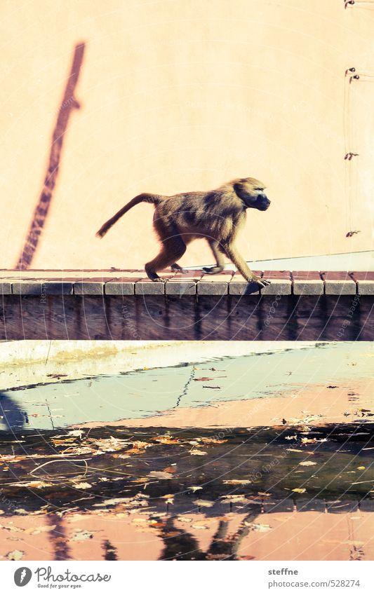 Stadtaffe Tier laufen Brücke Zoo Affen Pavian