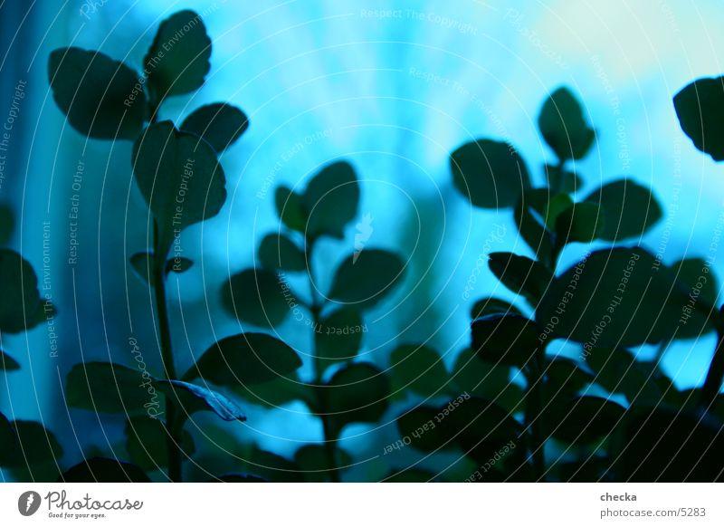 noch'n pflänzle Pflanze grün Makroaufnahme blau bläulich