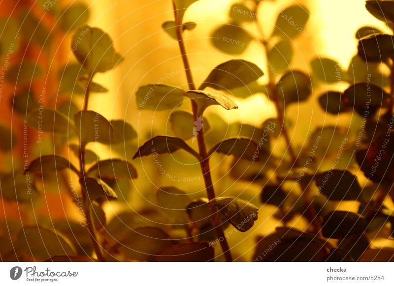 pflänzle Pflanze Makroaufnahme gold Schönes Wetter Sonne athmosphäre