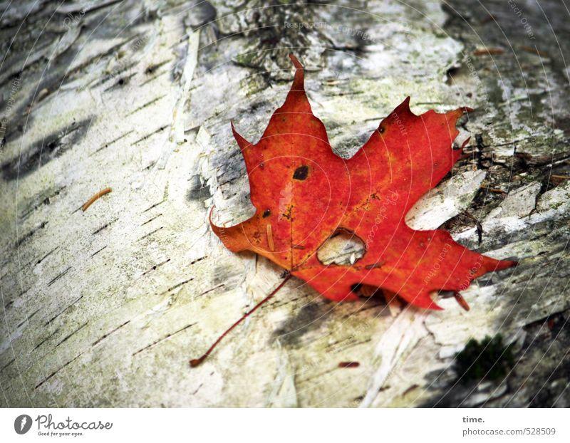 Die letzte Glut Umwelt Natur Herbst Pflanze Baum Blatt Birke Totholz Ahorn Ahornblatt Baumrinde Wald Traurigkeit Trauer Müdigkeit Einsamkeit Endzeitstimmung
