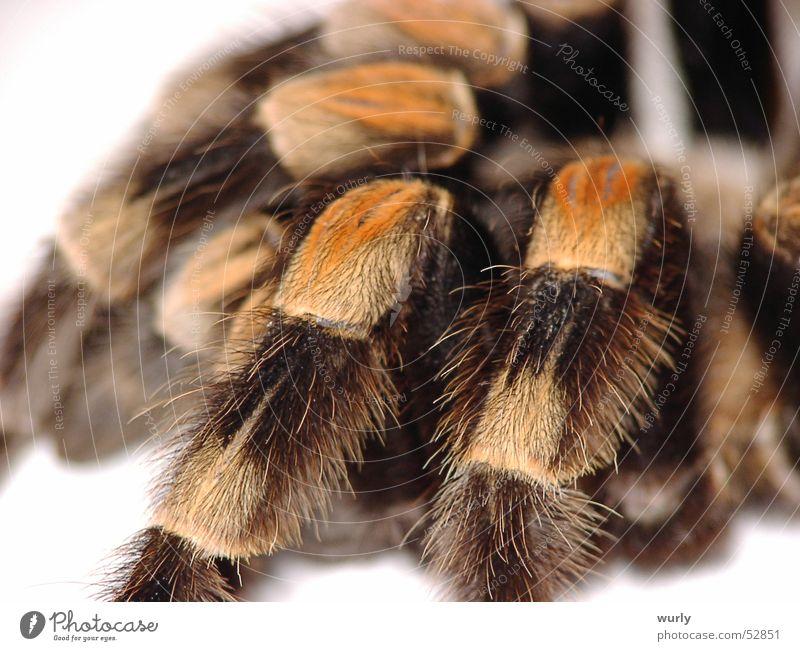 Rotknie Spinne braun Insekt gelb weich Angst Makroaufnahme Panik Gänsehaut puschelig Beine spider wollig sanft