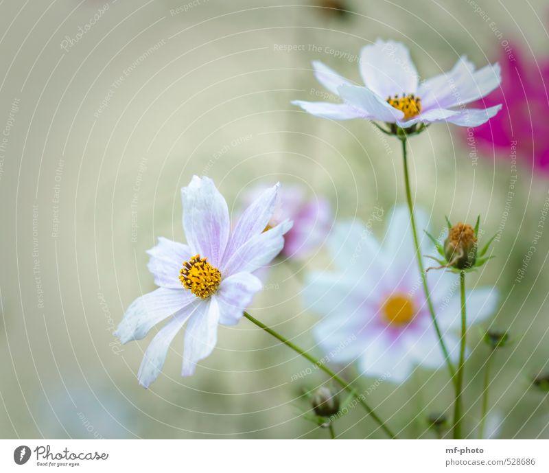 Cosmos Natur Pflanze Sommer Herbst Blume Blüte Schmuckkörbchen grün rosa weiß Farbfoto Menschenleer Morgen