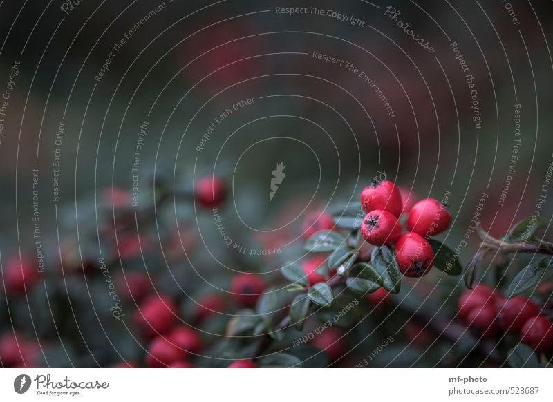 Herbstliche Beeren Natur grün Pflanze rot schwarz Herbst