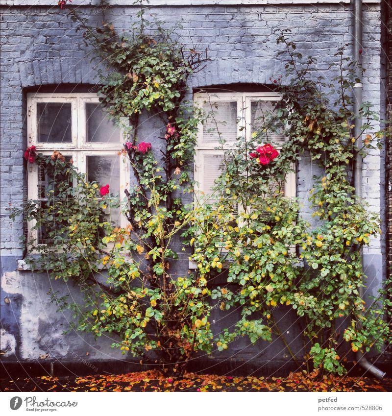 Häusliche Ansichten III Architektur Herbst Sträucher Rose Stadt Altstadt Haus Fassade Fenster Tür Dachrinne Holz Backstein alt stachelig blau gelb grün orange