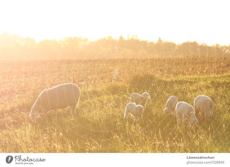 Kindersegen Natur Landschaft Feld Weide Nutztier Schafherde Lamm Tiergruppe Herde Tierjunges Tierfamilie Fressen leuchten Fröhlichkeit hell niedlich schön gelb