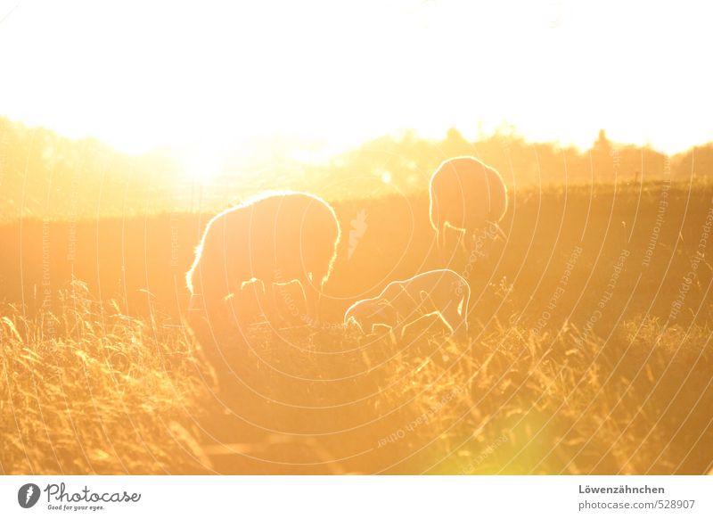 Es leuchten die Schafe! Natur weiß Tier gelb Wärme Tierjunges Wiese Gras hell Stimmung Zusammensein orange Feld Zufriedenheit ästhetisch