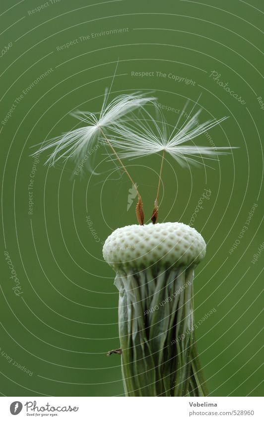 Löwenzahn Pflanze Wildpflanze grau grün weiß samen löwenzahn schirmchen nahaufnahme close-up natur sommer Farbfoto Außenaufnahme Detailaufnahme Makroaufnahme