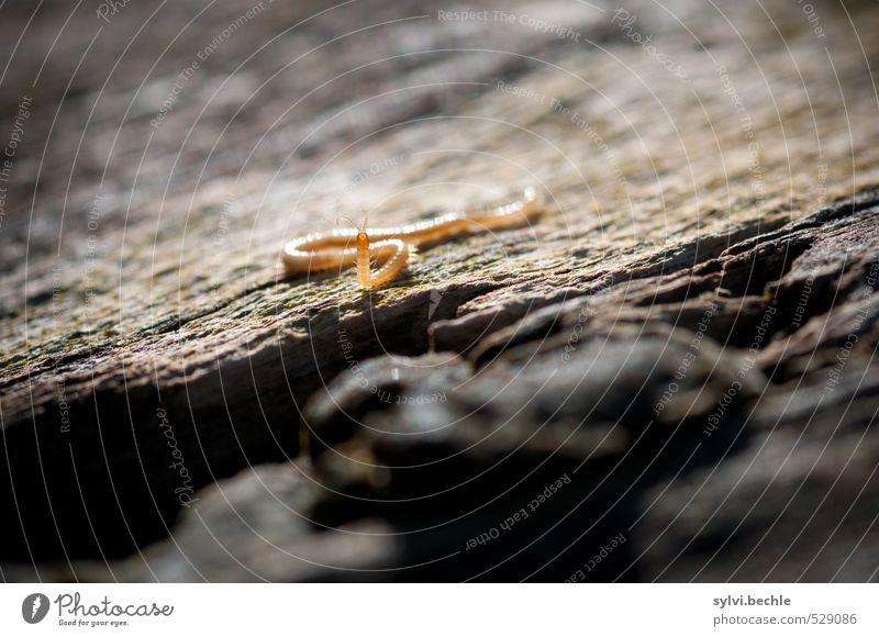 Winzling Umwelt Natur Tier Schönes Wetter Baum Wildtier Wurm 1 beobachten Bewegung laufen Blick klein Neugier braun gelb standhaft Interesse Baumrinde Baumstamm