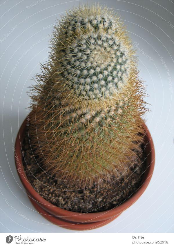 stachelige Angelegenheit Kaktus Pflanze grün Dorn Topfpflanze Blumentopf Vogelperspektive Spitze Stachel Häusliches Leben Nahaufnahme