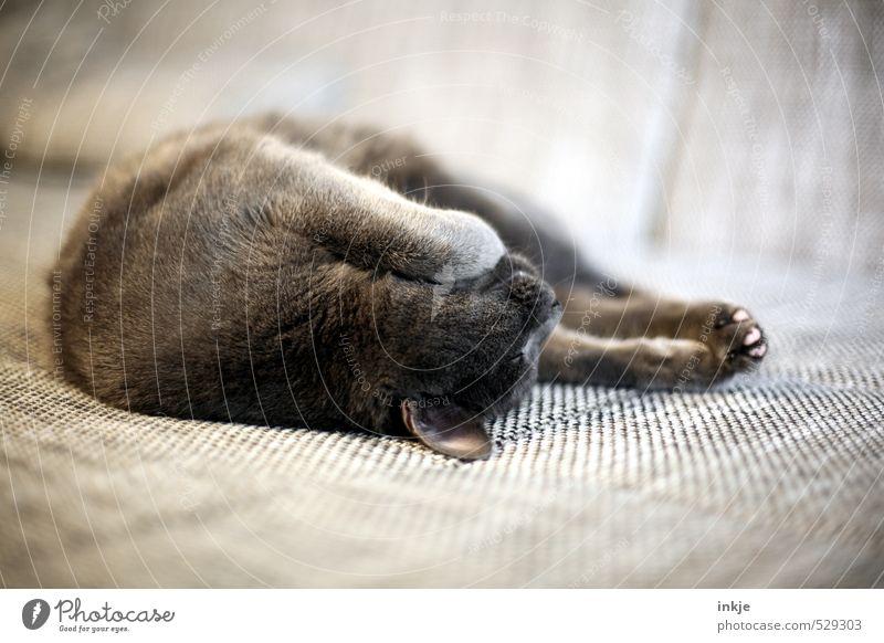 Sonntag Lifestyle Häusliches Leben Sofa Wohnzimmer Tier Haustier Katze Hauskatze 1 Erholung genießen liegen schlafen kuschlig niedlich weich braun Gefühle