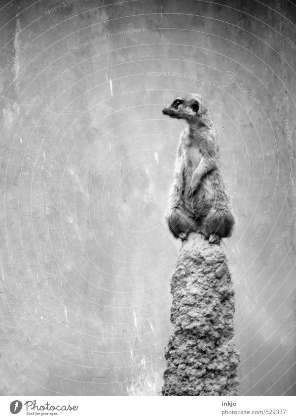 Legt Euch ruhig schlafen. Ich halte Wache. Hügel Felsen Tier Wildtier Erdmännchen beobachten Blick warten Neugier niedlich Gefühle Opferbereitschaft