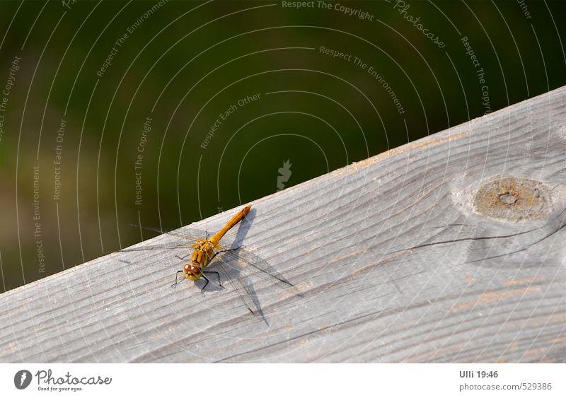 Auge in Auge. . . . . Sommer Tier Garten Menschenleer Terrasse Holzgeländer Flügel Libelle Insekt 1 beobachten sitzen authentisch klein nah Neugier niedlich