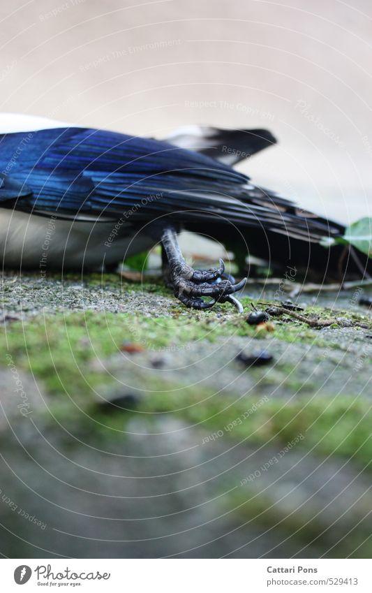 Drain Away Tier Wildtier Totes Tier Vogel Flügel Krallen Elster Sperlingsvögel Tierfuß authentisch blau Tod Feder Vergänglichkeit Paradies Schmerz Krankheit