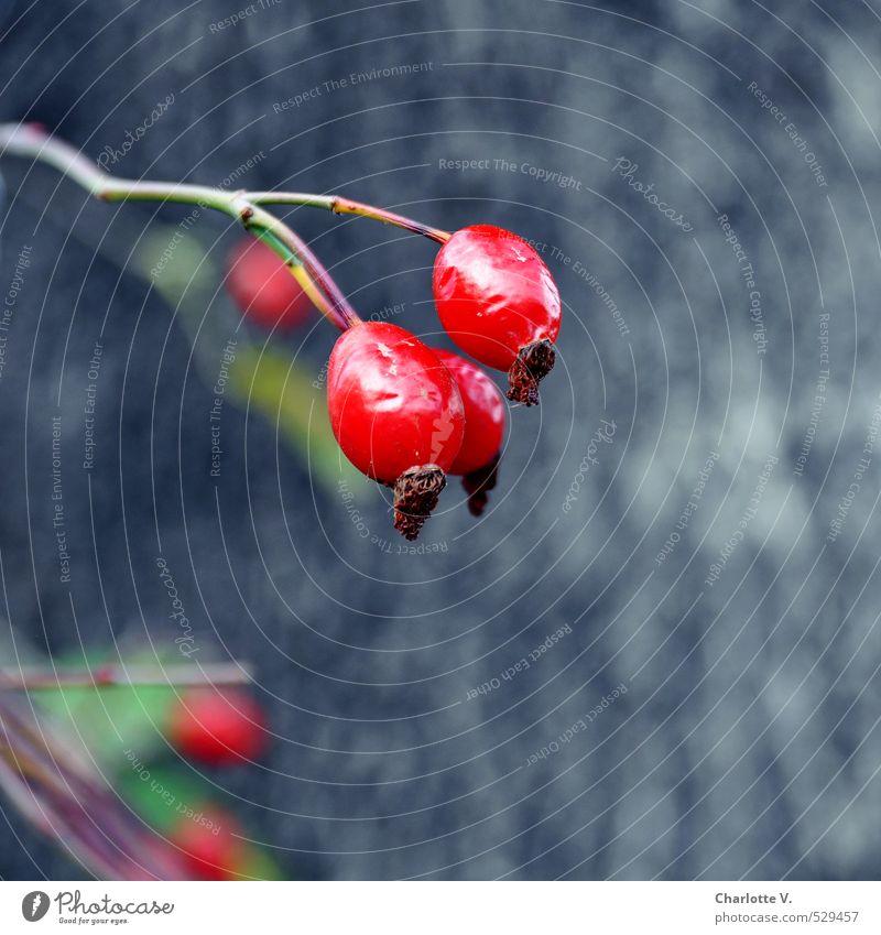 Hagebutten in Chemnitz Natur Pflanze grün rot Herbst grau Frucht glänzend leuchten frisch elegant ästhetisch Vergänglichkeit Wandel & Veränderung hängen Glätte