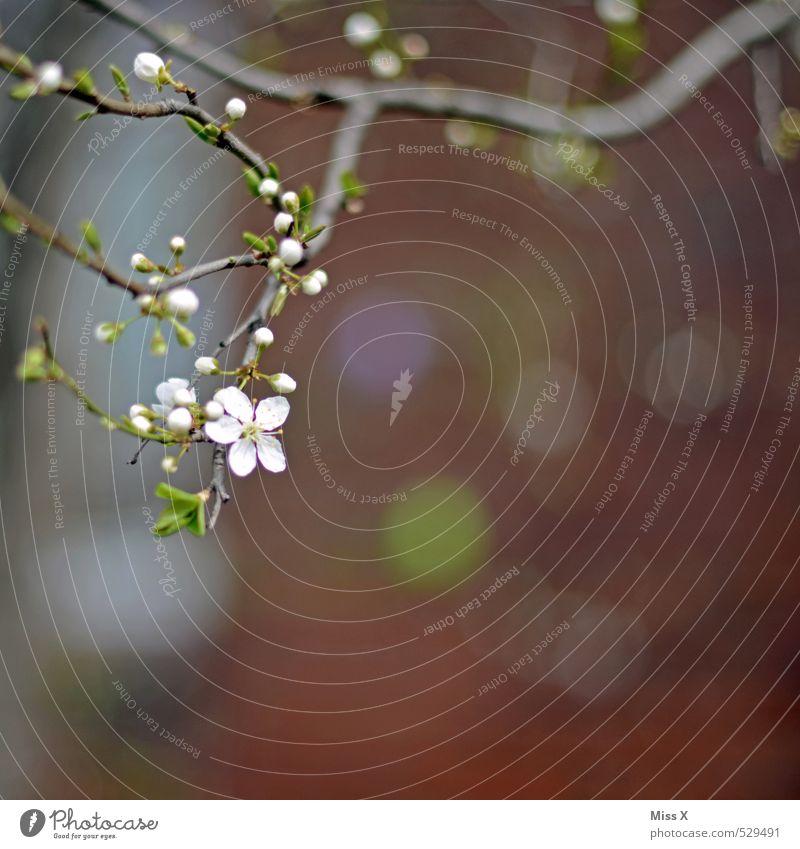 Frühlingsmuster weiß Pflanze Baum Blatt Wand Mauer Blüte Sträucher Wachstum Blühend Duft Blütenknospen Blattknospe Trieb Zweige u. Äste