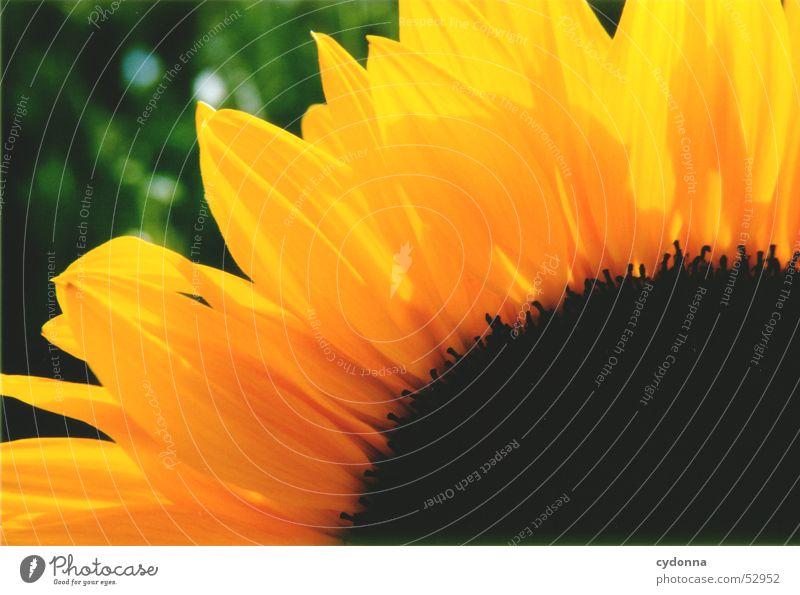 Sonnenblume Pflanze Sommer Licht gelb Blume Blüte Blütenblatt Makroaufnahme Nahaufnahme Farbe Kontrast Detailaufnahme Natur